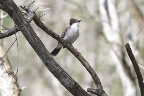 Loggerhead kingbird, 6 March 2017