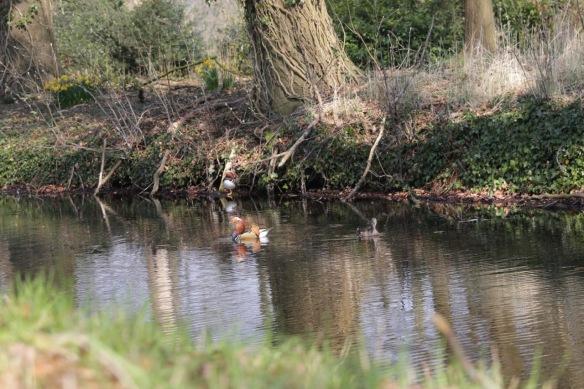Mandarin ducks, 28 March 2017