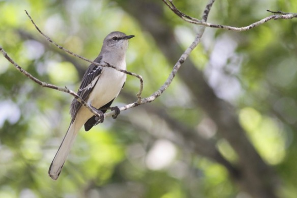 Northern mockingbird, 6 March 2017