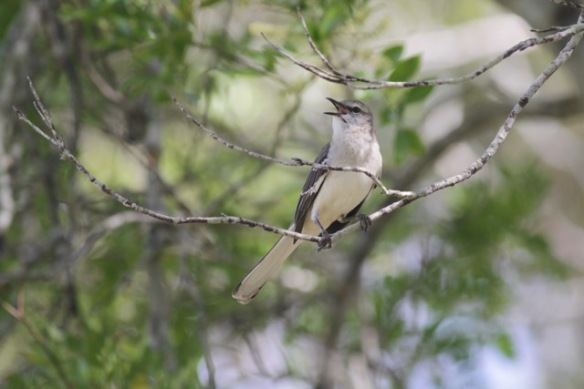 Northern mockingbird sings, 6 March 2017