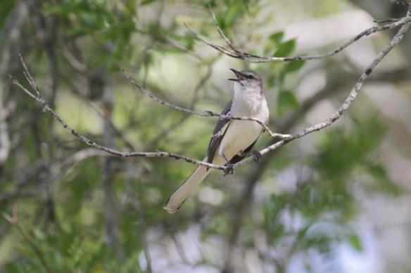 Northern mockingbird sings, 6 March 2017