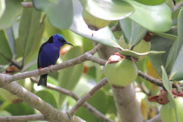 Red-legged honeycreeper male, 6 March 2017