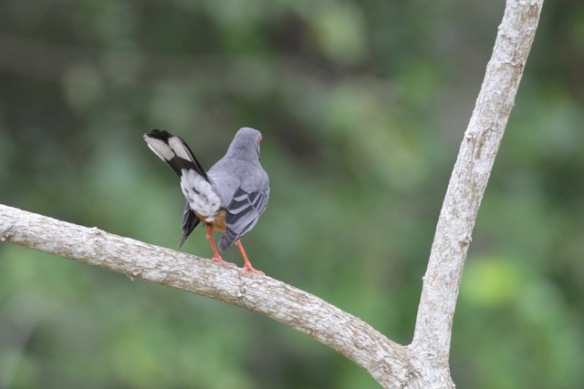 Red-legged thrush, on 6 March 2017