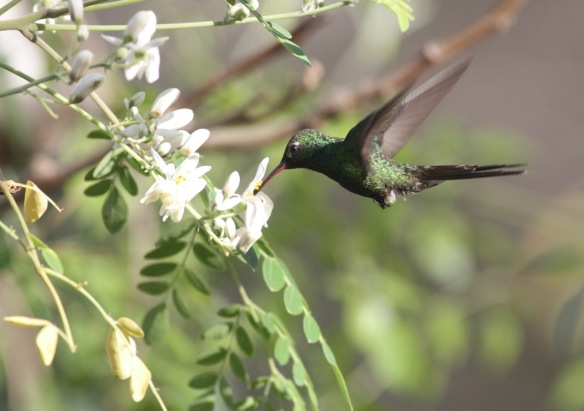Cuban emerald hummingbird, 13 March 2017
