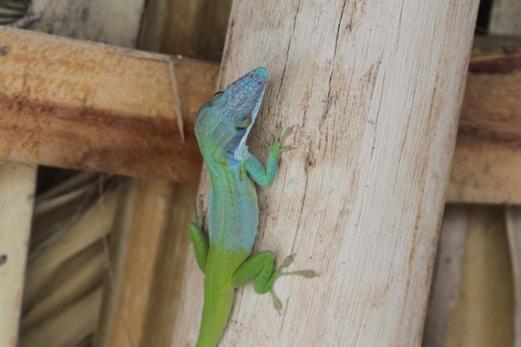 Anolis lizard, Cuba on 13 March 2017