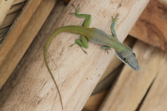 Anolis lizard, on 13 March 2017