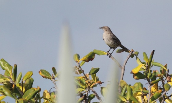 Bahama mockingbird, 12 March 2017