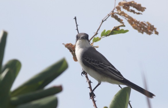 Northern mockingbird, Cuba, 12 March 2017