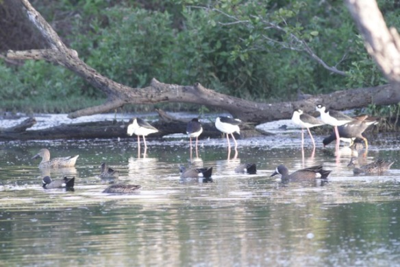 Black-necked stilts and blue-winged teal, on 12 March 2017