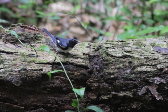 Black-throated blue warbler, 10 March 2017