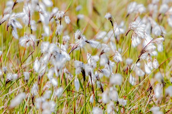 Slender cottongrass, 17 April 2017