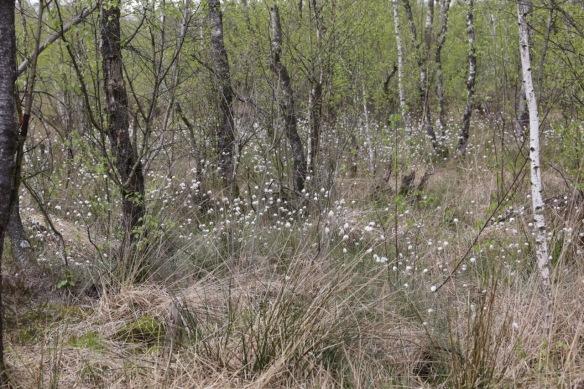Cottongrass, 26 April 2017