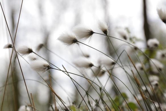 Cottongrass, Meddose Veen, on 26 April 2017
