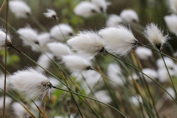 Cottongrass, on 26 April 2017