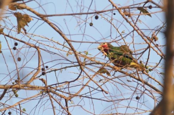 Cuban parrot eating fruit, 10 March 2017
