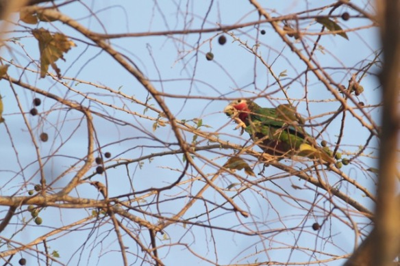 Cuban parrot eating fruit, 10 March 2017