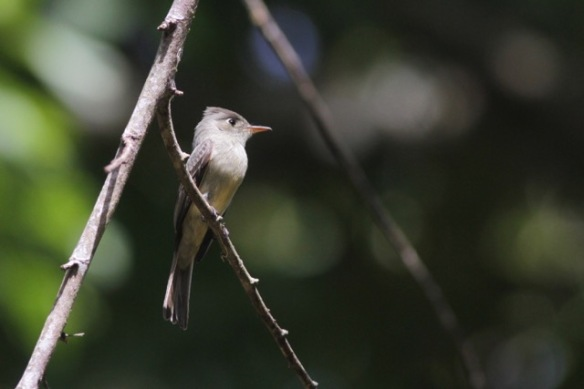 Cuban peewee, 10 March 2017