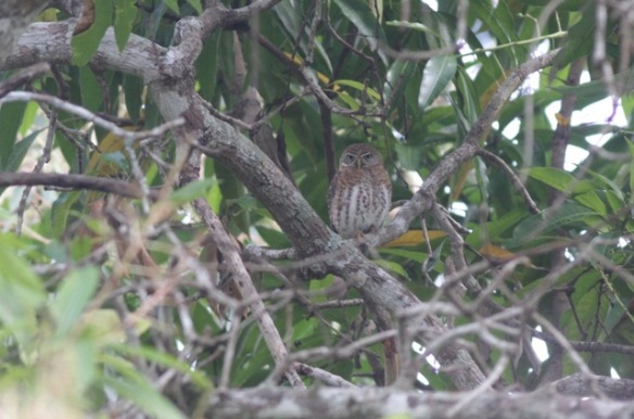Cuban pygmy owl, 10 March 2017