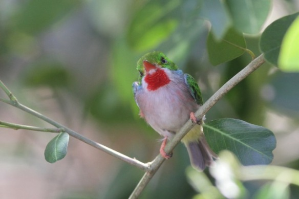Cuban tody, on 12 March 2017