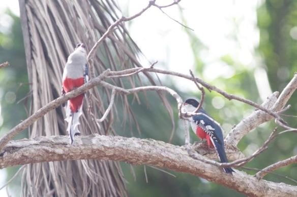 Cuban trogons, 10 March 2017