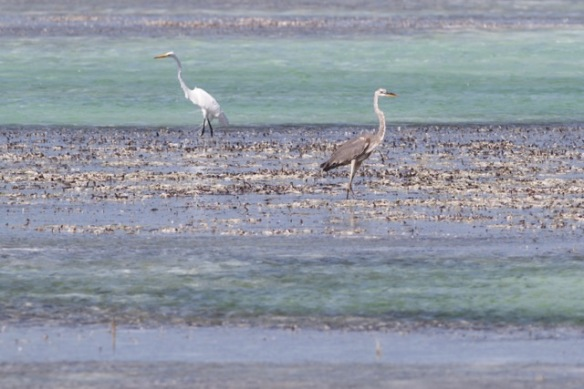 Great egret and great blue heron, 12 March 2017