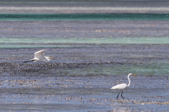 Great egrets, 12 March 2017