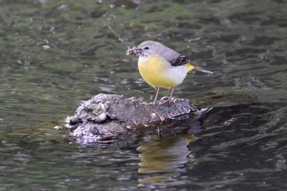 Grey wagtail, 23 April 2017