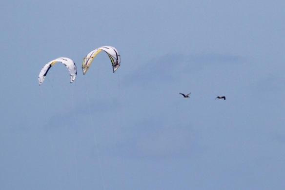 Kite surfers and brown pelicans, 12 March 2017
