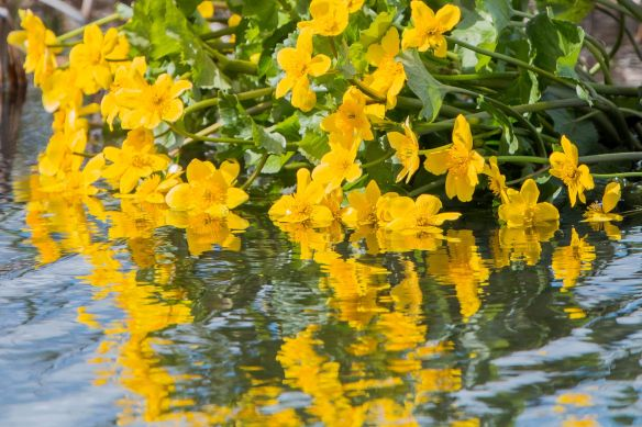 Marsh marigold, 17 April 2017