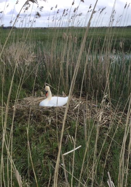 Mute swan, 17 April 2017