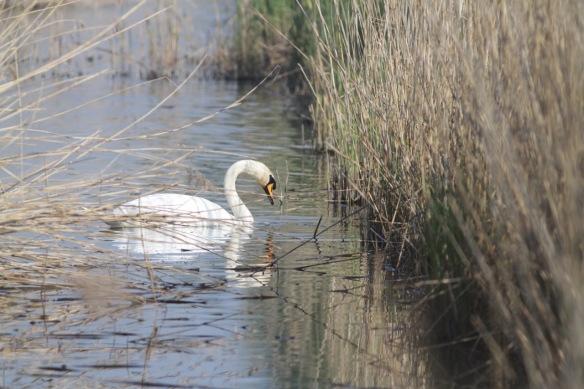 Mute swan, 9 April 2017
