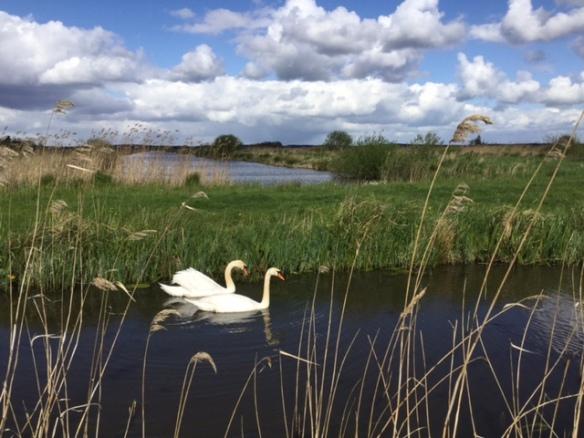 Mute swans, 17 April 2017