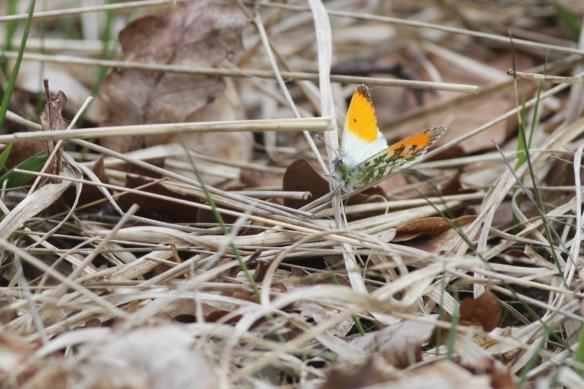 Orange tip butterfly, 26 April 2017