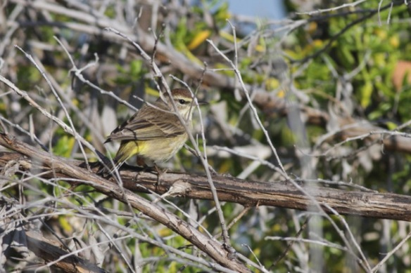 Palm warbler, on 12 March 2017