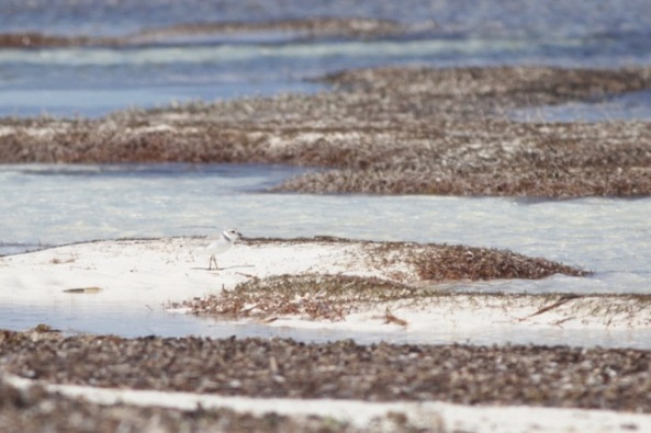 Piping plover, 12 March 2017