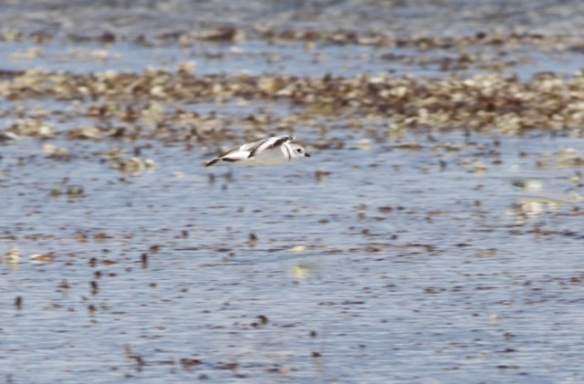 Piping plover flies, 12 March 2017