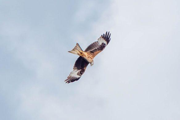 Red kite, 17 April 2017