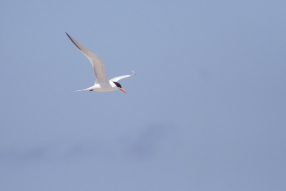 Royal tern, 12 March 2017