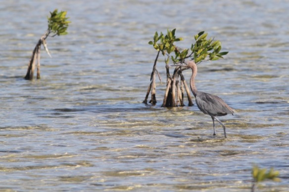 Reddish egret, 12 March 2017
