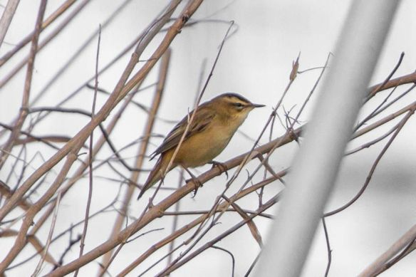 Sedge warbler, 17 April 2017