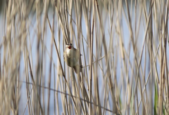 Sedge warbler, 20 April 2017
