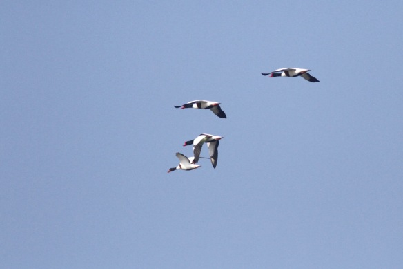 Shelducks, 9 April 2017