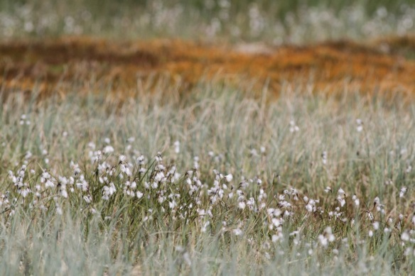 Slender cottongrass, 20 April 2017