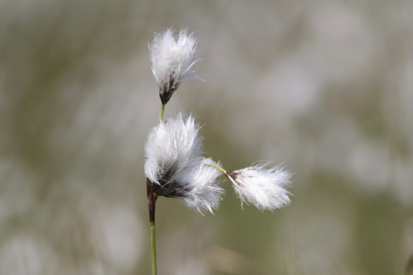Slender cottongrass, on 20 April 2017