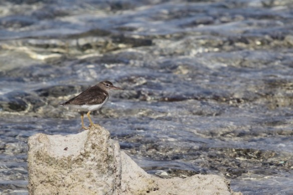 Spotted sandpiper, 12 March 2017