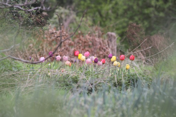 Tulips, 23 April 2017