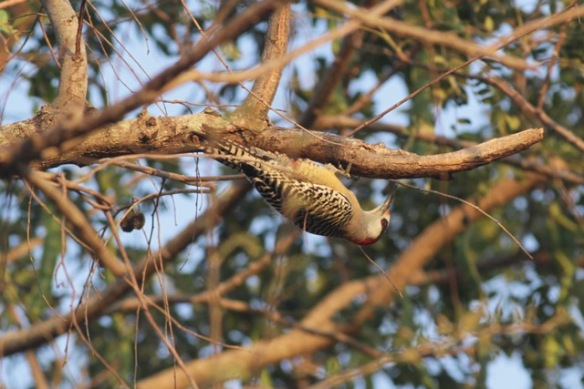 West Indian woodpecker, 10 March 2017