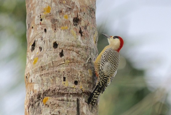 West Indian woodpecker, on 10 March 2017
