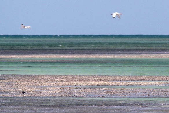 White ibises, 12 March 2017
