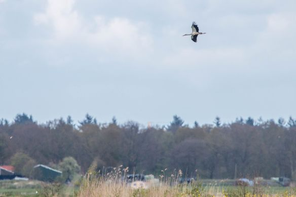 White stork, 17 April 2017